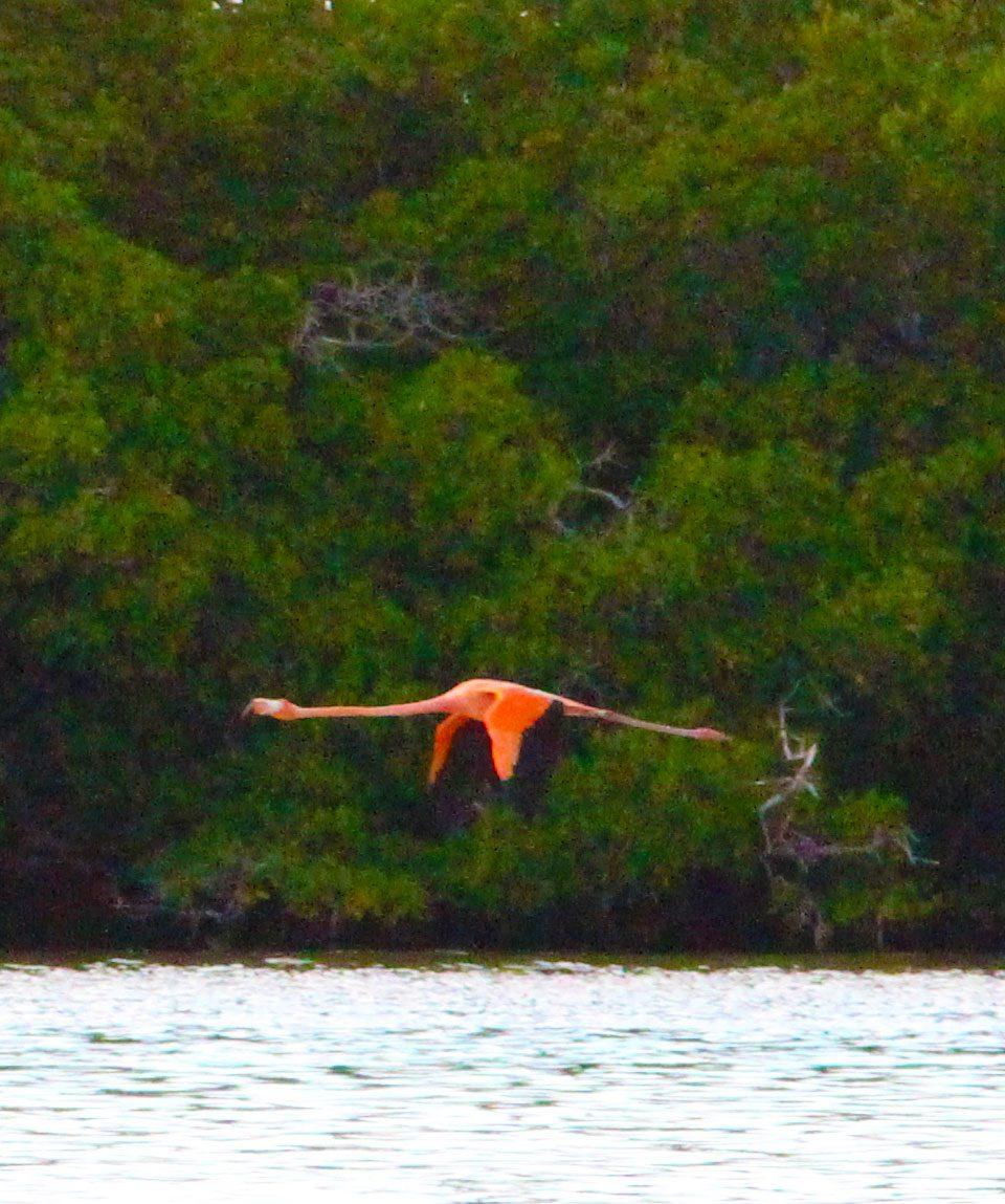 flamenco-volando