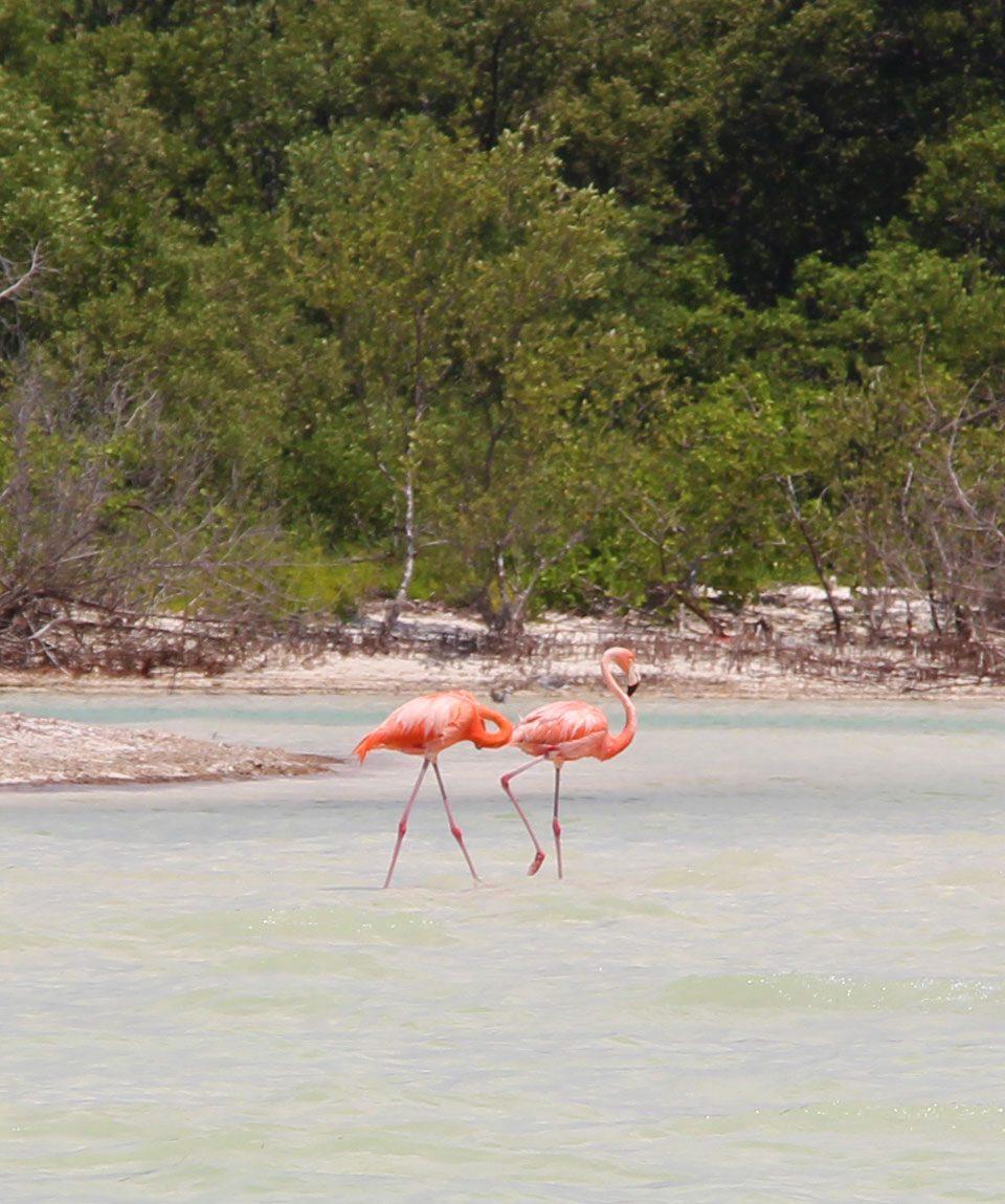Flamingos in Holbox